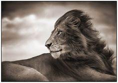 Lion before storm IV close up. photographer: Maasai Mara.
