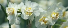 "A photograph of the the spring flowering Daffodil Bulbs cultivar ""Cheerfulness"" Mid Late bloom"