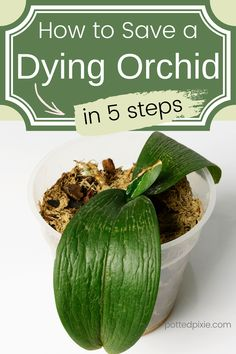 A step by step guide teaching you how to save your dying orchid. First diagnose the proble, whether it's simply dormant or has worse problems like yellowing leaves or root rot. Learn how to save your orchid by trimming off the dead parts and repotting with the proper media. Follow these tips for bringing your orchid back to life. All you need to know about proper orchid care after you learn how to revive your dying phalaenopsis orchid. #orchidcare #houseplants #indoorplants Orchids In Water, Indoor Orchids, Orchids Garden, Garden Plants, Indoor Plants, Phalaenopsis Orchid Care, Orchid Plant Care, Orchid Plants, Orchid Repotting