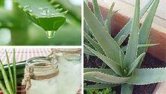 7 avantages fournis par l'Aloe Vera qui vous pousseront à en cultiver chez vous