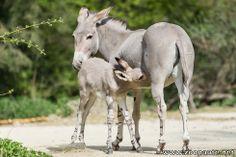Des nouveau-nés chez les ânes sauvages de Somalie et les chèvres naines au Zoo de Bâle