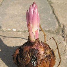 Как пересадить и размножить лилию в саду – пошаговый мастер-класс с фото | В цветнике (Огород.ru)