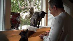 Cornish Rex Kitties Learn Clicker Training