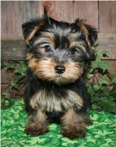 this is what my new morkie puppy looks like. (: shes 4 weeks old and too cute! im so excied for her to come home!