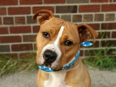 TO BE DESTROYED - 09/07/14 Brooklyn Center -P  My name is NICO. My Animal ID # is A1009234. I am a neutered male tan and white staffordshire mix. The shelter thinks I am about 2 YEARS old.  I came in the shelter as a OWNER SUR on 08/04/2014 from NY 11368, owner surrender reason stated was TOO MANY P.https://m.facebook.com/photo.php?fbid=852652828080931&id=152876678058553&set=a.611290788883804.1073741851.152876678058553&source=46&ref=stream