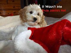 Cute COCKAPOO ? CAVAPOO Puppy BLANK Christmas Card | Jollyrobin Cards MISI Handmade Shop