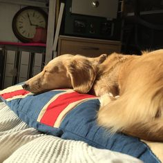"""asleep on union jack"" my #sleepingdog on the #unionjack says it all!  #afternoonnap #rightidea #daschundsofinstagram #pillow #princess  #lovemypup"