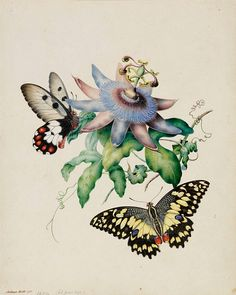 stilllifequickheart: Helena Forde Butterflies with Passionfruit Flower 1854 'Forde, Helena (nee Scott) (1832-1910) New South Wales. Botanical and entomological artist. Painted for a 'Flora of the Darling River' (unpublished). Best known for the insect illustrations, together with their food plants, in Australian Lepidoptera with their Transformations, drawn from the life by Harriet and Helena Scott, with Descriptions General and Systematic, by A.W. Scott M.A. (1864) By 1862 H