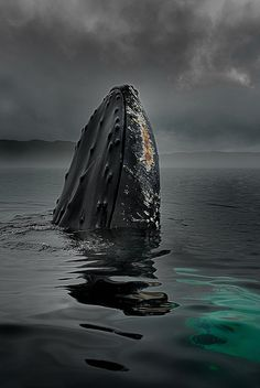 Humpback Whale Merging up to Get Air Under Threatening Skies.