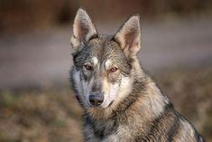 """""""Musterbeispiel"""" für den Sandros - Beautiful example for the Sandros Leisha Dog #sandrosleishadog #dog #shepherddog #wolfdog #wolfsschäferhund #nordischerwolfsschäferhund Husky, Alaskan Malamute, Smile, Pets, Animals, Wolfhound, Animals Dog, Puppys, Animales"""