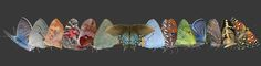 Identify a Butterfly, Moth, or Caterpillar