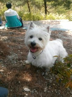 Westie dog - that's a happy pup, look at that smile!