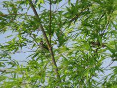 竹、スズメ. sparrows on a bamboo. 1 August 2016.