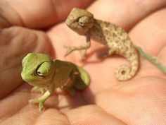 Baby Chameleons   We had a couple of these for pets.  They really do change color depending on what colors are around them.
