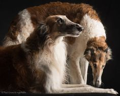 Borzoi Dog, Whippet, Russian Wolfhound, Medium Dogs, Hunting Dogs, Dogs Of The World, Beautiful Dogs, Mans Best Friend, Pet Portraits