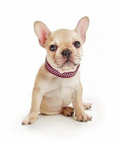 Französische Bulldogge mit Halsband BASIC ROCK'N'ROLL