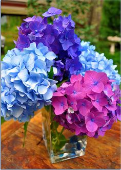 Hydrangea-these are all over Cape Cod starting in May. One of my favorites All Flowers, Flowers Nature, Amazing Flowers, Beautiful Flowers, Wedding Flowers, Hydrangea Colors, Hydrangea Flower, My Flower, Trees To Plant