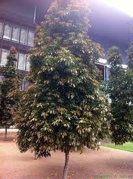 elaeocarpus eumundii front of house screening example Bush Garden, Garden Mum, Garden Pool, Garden Plants, Tropical Landscaping, Landscaping Plants, Tropical Garden, Farm Gardens, Outdoor Gardens