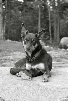Kelpie Aussie Dogs, Herding Dogs, Dog Breed Selector, Mans Best Friend, Dog Photos, Collie, Large Dogs, Household, Dogs And Puppies