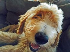 Murray the Goldendoodle, PURE HAPPINESS!!!!