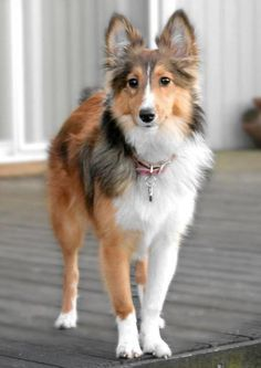 Jenny the Shetland Sheepdog - trimmed hair. a little to short but good for summer time.