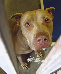 A4852739 I am a very friendly 2 yr old female red pit bull mix. I came to the shelter as a stray on July 6. available 7/11/15 NOTE: Pit bulls are not kept as long as others so those dogs are always urgent!! Baldwin Park shelter https://www.facebook.com/photo.php?fbid=996247727053731&set=a.705235432821630&type=3&theater