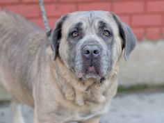 SAFE 04/13/15 by Second Chance Rescue --- SUPER URGENT 03/17/15 Brooklyn Center   LAYLA - A1030614   FEMALE, BROWN / TAN, CANE CORSO MIX, 8 yrs OWNER SUR - ONHOLDHERE, HOLD FOR RTO Reason LLORDPRIVA  Intake condition EXAM REQ Intake Date 03/17/2015 https://www.facebook.com/photo.php?fbid=981084025237810