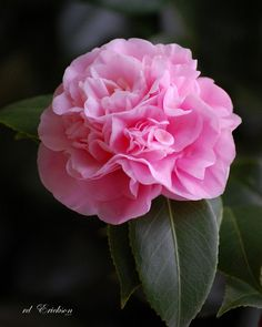 Pink Camellia--peony variety