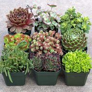 Hardy Succulent Sample Collection: 16 of our best hardy species and cultivars (16 plants total). Each is planted in its own 2x2 container. These plants are typically cold hardy to zone 5 (-20 F) or lo