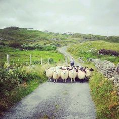 Traffic on Inishturk Island, Co Mayo.  Loved the sheep (& lambs!) every where when we were there!