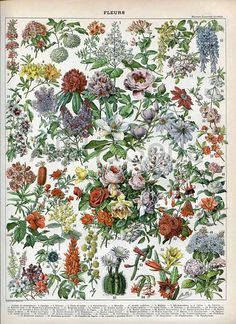 Botanical flowers from French Nouveau Larousse Dictionary, 1898-1904, illustrator: Adolphe Millot