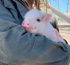 The Worlds Smallest Pet PigsさんはInstagramを利用しています:「Mood. Charlotte Rose🐷🥀 getting all the attention in LA!」 Tiny Baby Animals, Baby Animals Super Cute, Baby Animals Pictures, Cute Little Animals, Cute Animal Pictures, Funny Animals, Little Pigs, Cute Baby Pigs, Cute Piglets