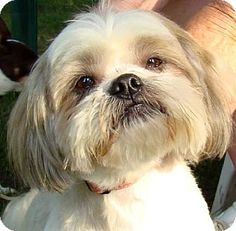Greenfield, IN - Shih Tzu. Meet GiGi a Dog for Adoption. What a sweet face she has!!