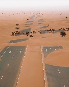 """peterfromtexas:  """" Camels crossing the highway in UAE desert  """""""