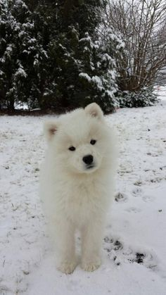 Samoyed puppy *