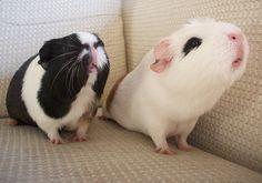 Guinea Pig Monday
