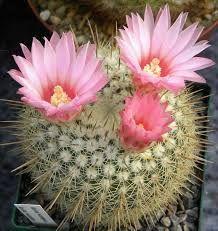 """Cactus.   (""""Resultado de imagem para notocactus."""")"""