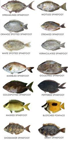 Confused over Fish names? 100 Most popular Fish names with images - Sea fish , Freshwater fish | RABBITFISH- SPINEFOOT- Rabbit fish, safi, sunafi, belais, debam, kelang, Danggit, Samaral, Kunar, Ottah, Kalloran, Ori Warahwah, Sanefi, Seeseege, SIGAN, Siguro, Sigano Red Mullet, Spanish Mackerel, Parrot Fish, Yellowfin Tuna, Fish Finger, Prawn Shrimp, Red Snapper, How To Cook Fish, Sea Bass
