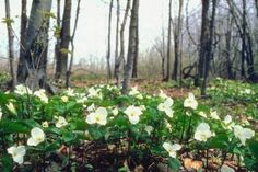 Native to both the United States and Asia, trillium grows wild in woodlands across much of America. Although the Eastern United States claims some 35 species of trillium, another eight grow freely in the Western part of the United States. Several species range from Oregon south into central California and along the ...