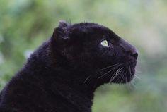 Black Panther Seemingly Serene.
