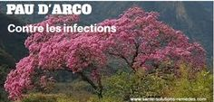 Pau D'arco Contre Les Infections