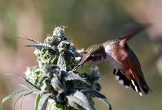 Hummingbirds Feasting On Cannabis~ Only the best for these discerning little creatures.