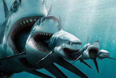 Have you ever wondered what the Megalodon ate. I have too, scientists examined the great white shark to get information about the Megalodon. They found out that it ate: tiny krill, dolphins,. Small Shark, Big Shark, Shark Week, Shark Pictures, Shark Pics, Megalodon Shark, Great White Shark, Jurassic World, Cutest Animals