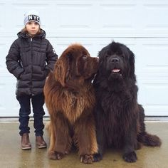 These Really Big Dogs And Their Tiny Human Friend Are Totally Adorable