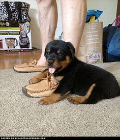Too Cute Rottweiler Puppy