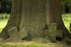Stone crosses marking the graves of German soldiers, overtaken by time and and the growing trunk of a tree in Hooglede German Military Cemetery on the centenary of the Great War on August 4, 2014 in Hooglede, Belgium.