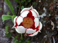 Tulipán #flores #primavera #sinfiltros