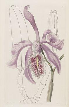 Orchid. Cattleya maxima. Edwards's Botanical Register v.32- t.1 (1846) [Sarah Ann Drake]