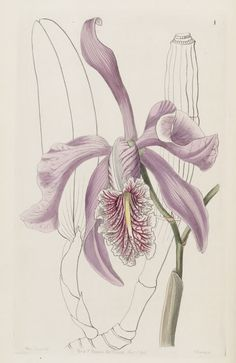 Orchid. Cattleya maxima. Edwards's Botanical Register v.32- t.1 (1846) [Sarah Ann Drake]