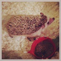 #hendrixthehedgehog #hedgehog Quilling, Hedgehog, Hedgehogs, Quilting, Quilling Art, Paper Quilling, Pygmy Hedgehog